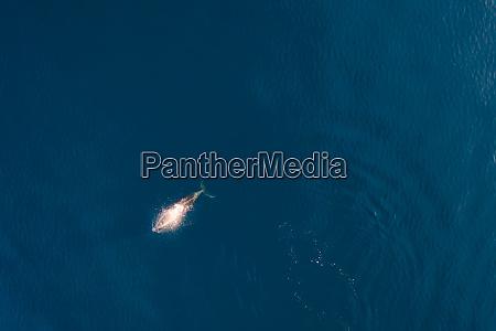 luftaufnahme des delphinschwimmens an der adria