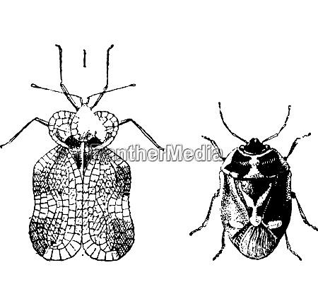 links hemiptera heteroptera tigerkaefer oder