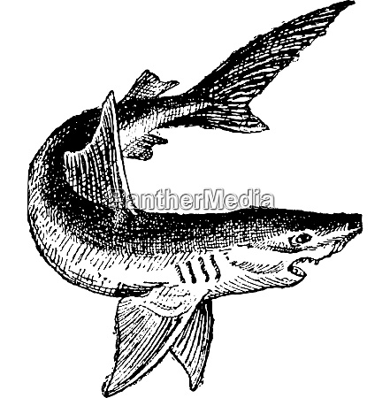 shark isolated on white vintage engraving