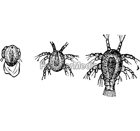 larva zyklopen vintage gravur