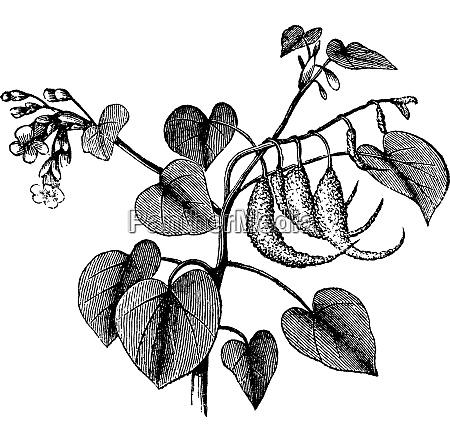 rams horn oder proboscidea louisianica vintage