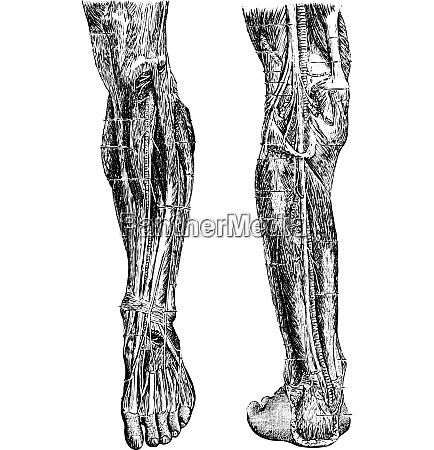 menschliches bein vintage gravur