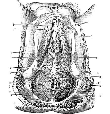 perineum menschen vintage gravur