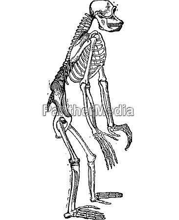 skelett von schimpansen oder schimpansen vintage