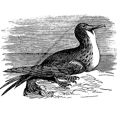 great frigatebird or fregata minor