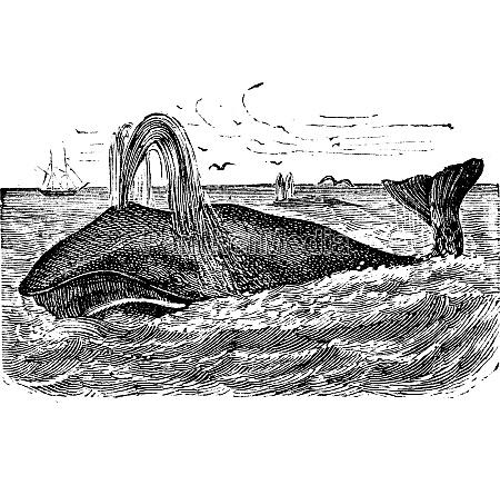 bowhead wal vintage gravur