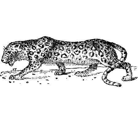 panther vintage gravur