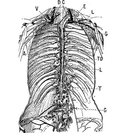 lymphsystem vintage gravur