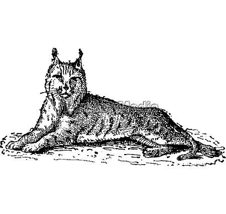 luchs oder bobcat oder lynx luchs