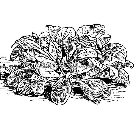 maissalat oder valerianella locusta vintage gravur