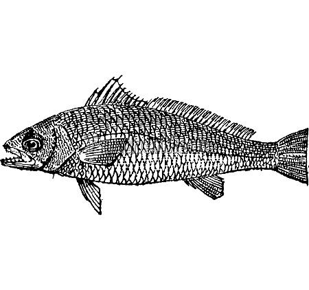 mager oder argyrosomus regius vintage gravur