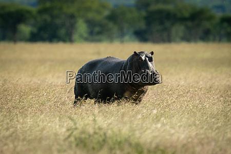 hippo steht im langen gras und
