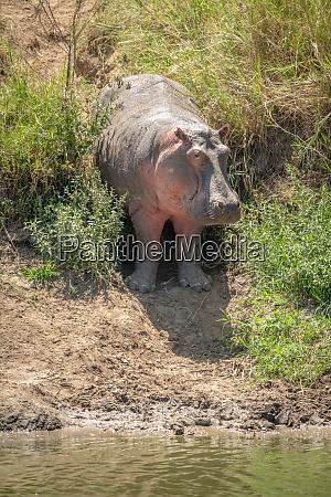 hippo steht in ueberwachsener gully augenkamera