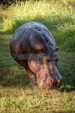 hippo steht auf grasbewachsenem rasen und