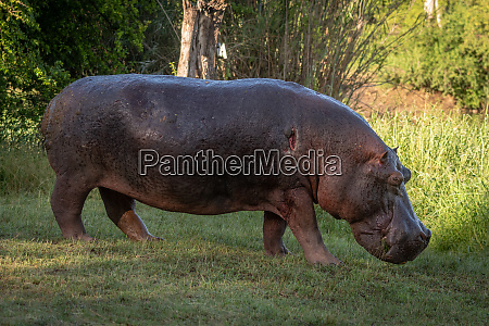 hippo mit verletzter schulter laeuft ueber