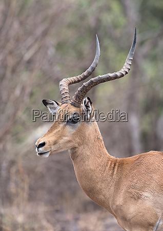 portrait shot of an impala ram