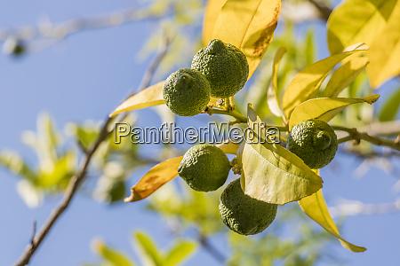 lime zitronenbaum in gaerten von kapstadt