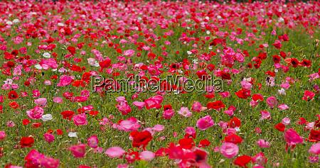 pink poppy flower field garden