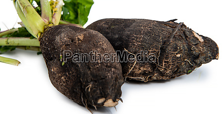 organic black radish isolated on white