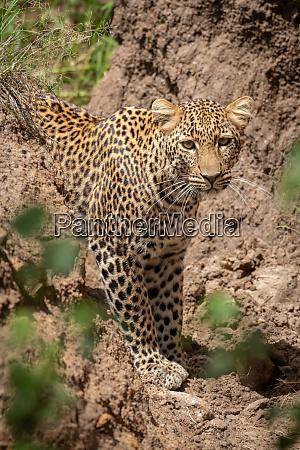 leopard steht in trockenem gully und