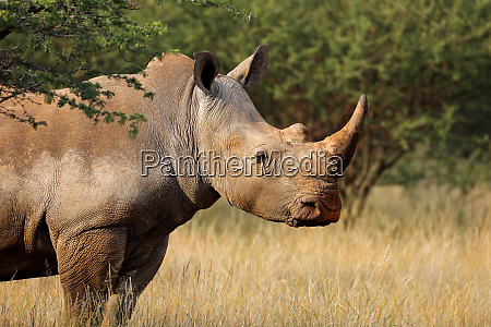 white rhinoceros in natural habitat
