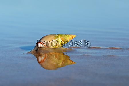 pflugschnecke am strand