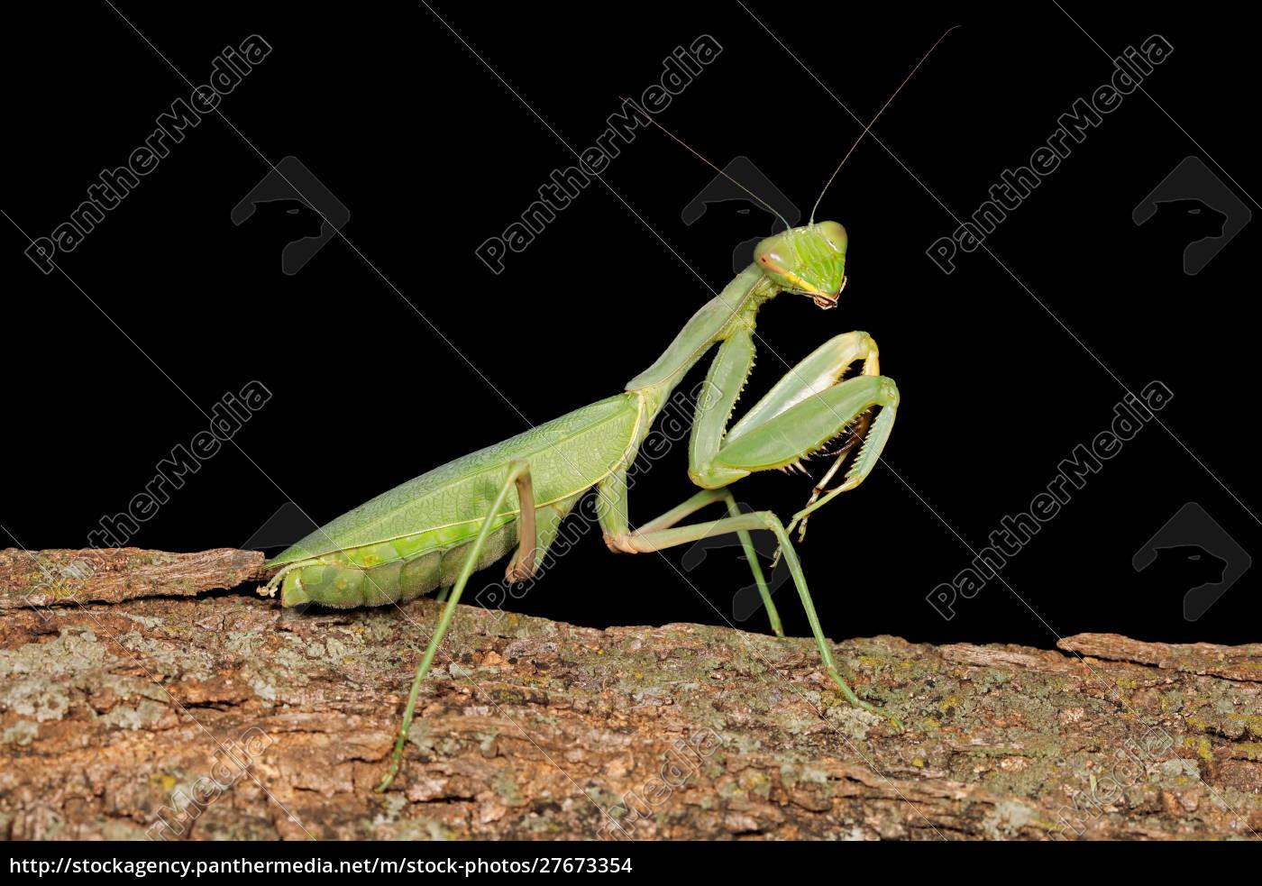 common, green, mantis - 27673354