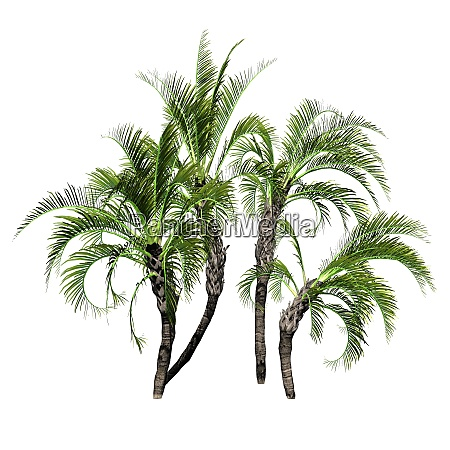 mehrere curly palms