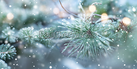 fir tree in natural winter scenery