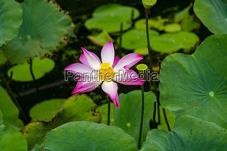 lotus blossom flower ving trang pagoda