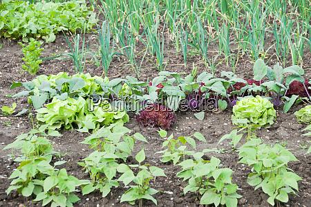 frische junge saitenbohnen salat und kohlrabipflanzen