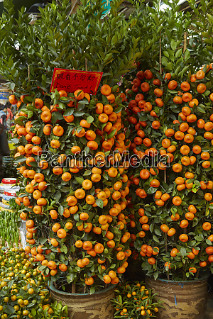 citrus trees hong kong flower market