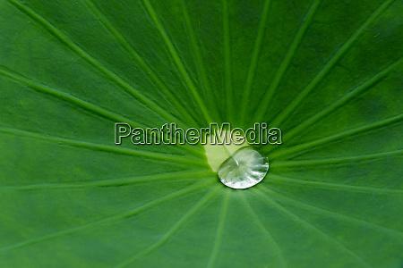 lotus leaf fujian province china