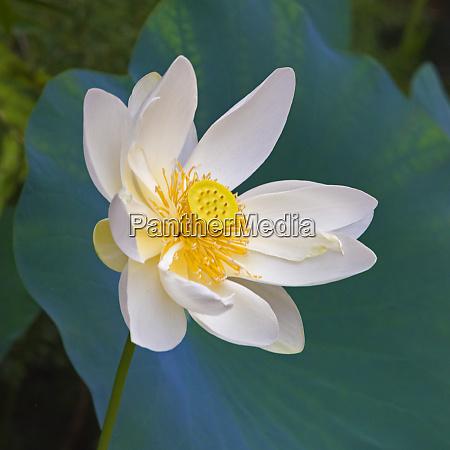 lotus flower guangxi province china