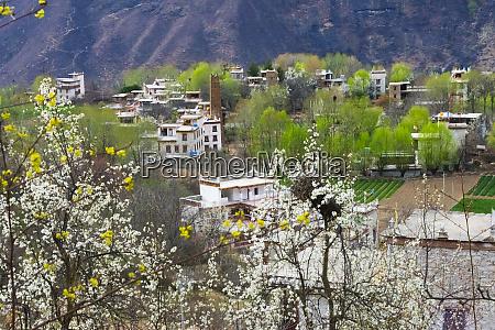 zhonglu tibetan village with pear tree