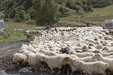 georgia mtskheta juta herd of sheep