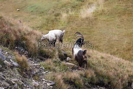 georgia mtskheta juta goat and sheep