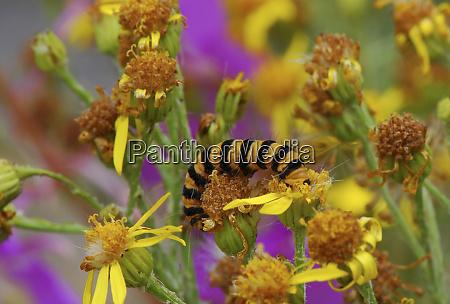 usa oregon cinnabar moth caterpillar feeding