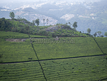 tea plantation in conoor tamil nadu