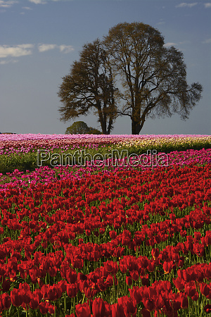 tulip festival in woodburn oregon usa