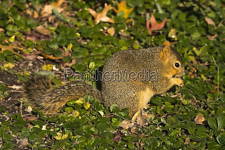 grey squirrel eating peanut crystal springs