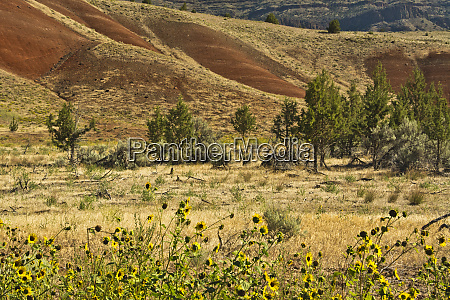 sunflowers painted hills john day fossil