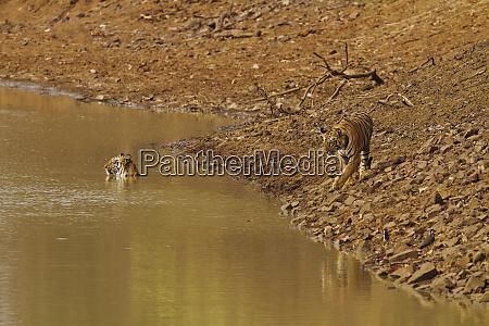 tadoba andheri tiger reserve indien