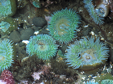 usa oregon nepture sp sea anemone