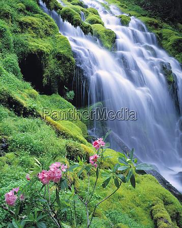 usa oregon proxy falls pink rhododendron