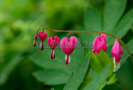 herzfoermige blutende herzblume in rosa und