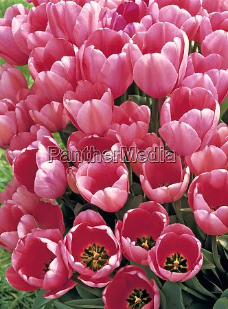usa oregon willamette valley delicate pink