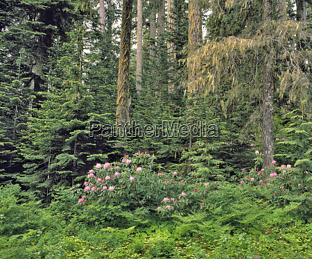 usa oregon mt hood nf rhododendron