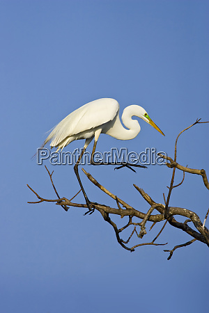 usa texas high island great egret