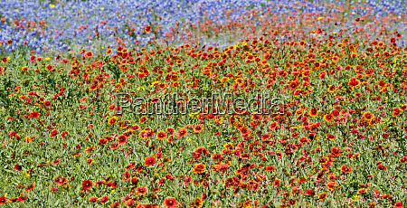 wildflower texas hill country along the